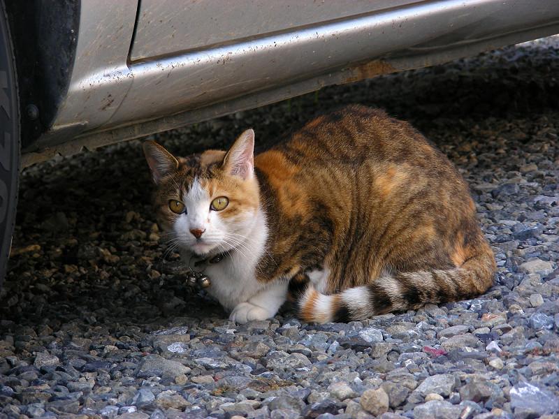 砂利駐車場の三毛猫3