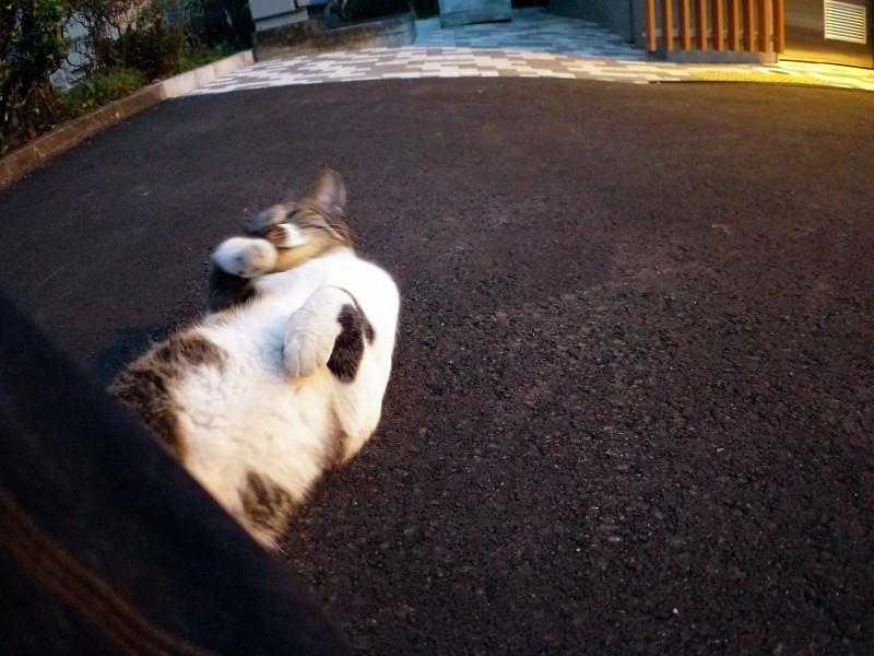 夕暮れに転がってるキジ白猫2