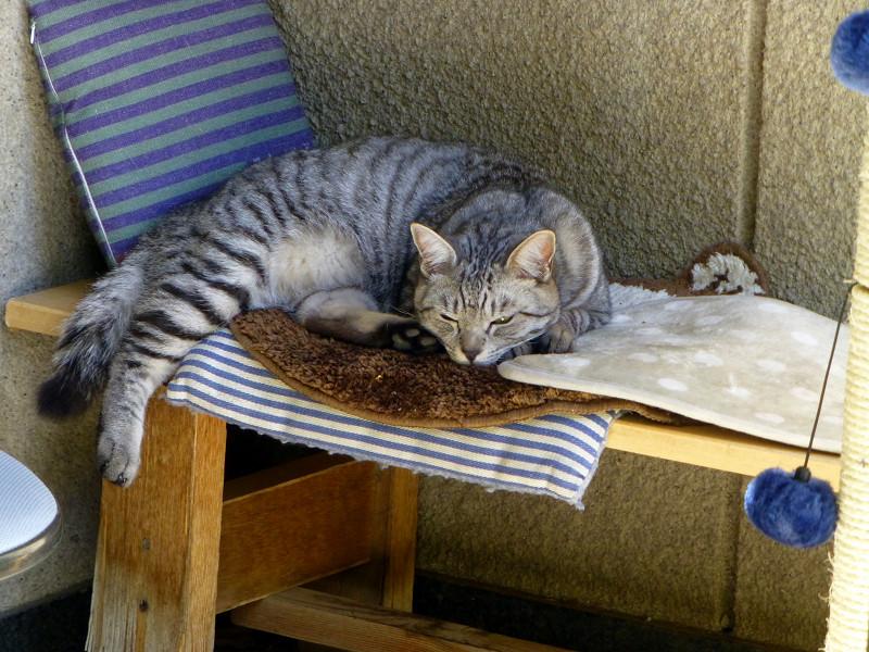 クッションの上のサバトラ猫1