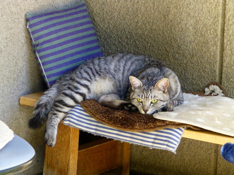 クッションの上のサバトラ猫2