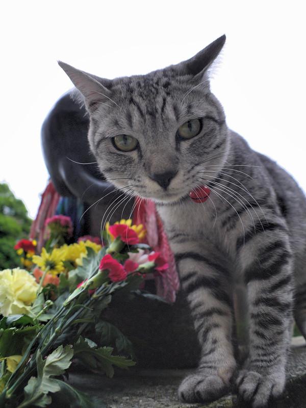 献花台のサバトラ猫2