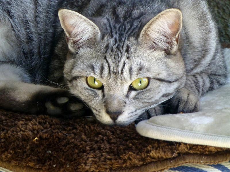 クッションの上のサバトラ猫3