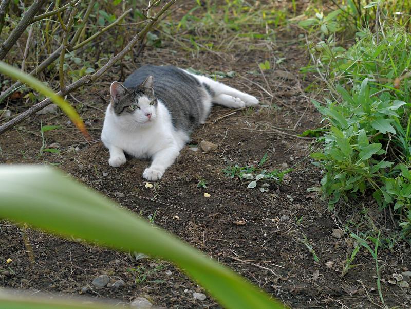 蝶々を目で追うキジ白猫1