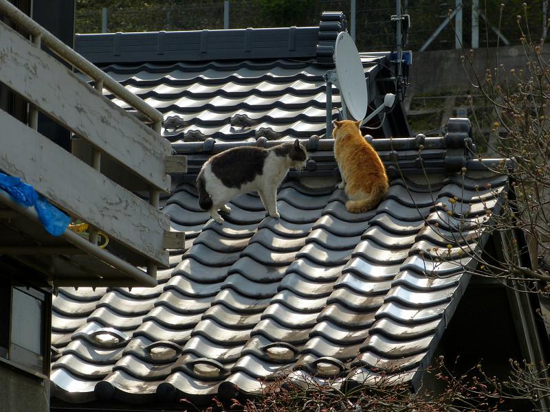 屋根の上の喧嘩猫たち1