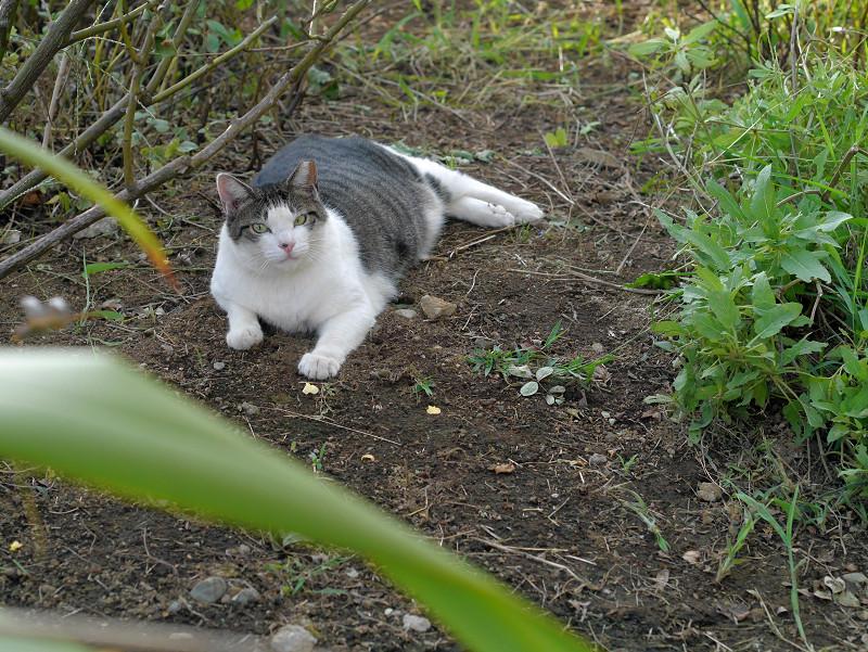 蝶々を目で追うキジ白猫2