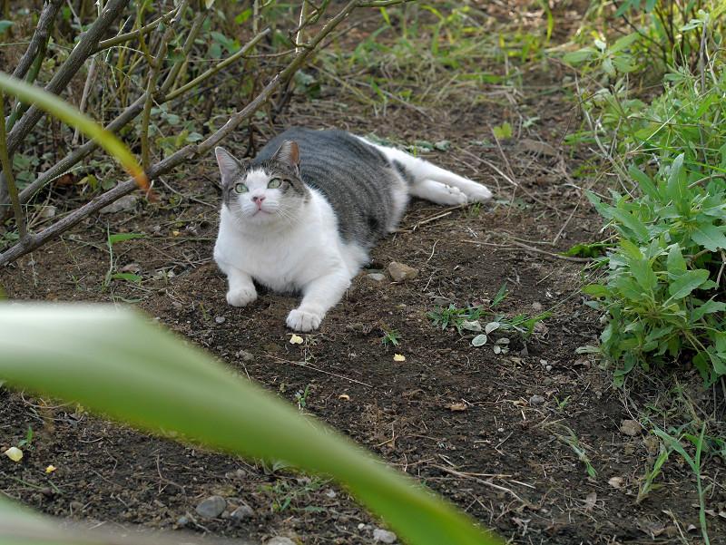 蝶々を目で追うキジ白猫3