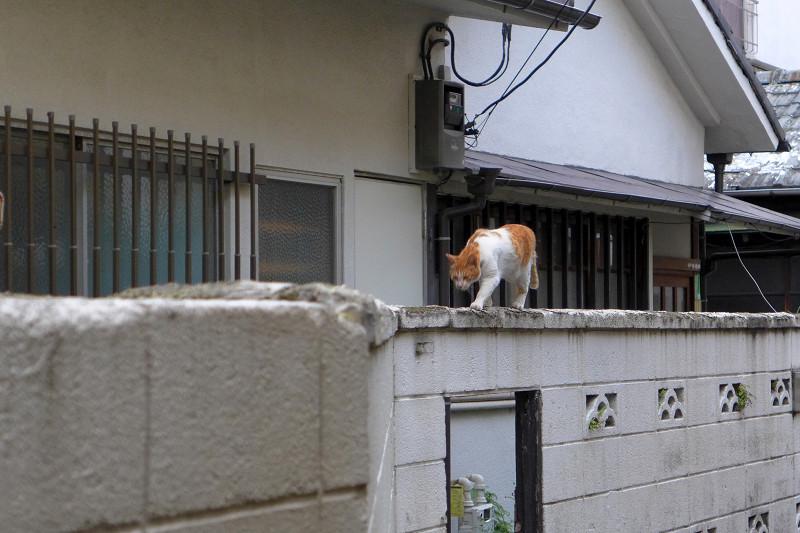 ブロック塀の茶白猫1