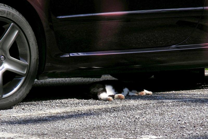 高級車の下の黒白猫1