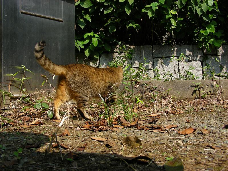 歩いて行くキジトラ猫