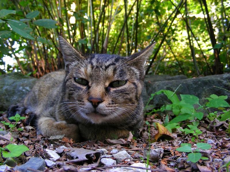 腹ばって見つめるキジトラ猫1