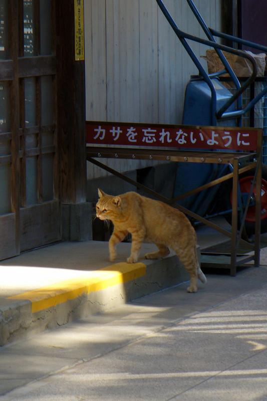 お寺の茶トラ猫1