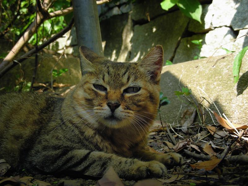 日陰のキジトラ猫