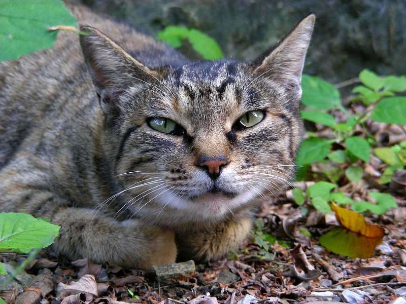 腹ばって見つめるキジトラ猫2