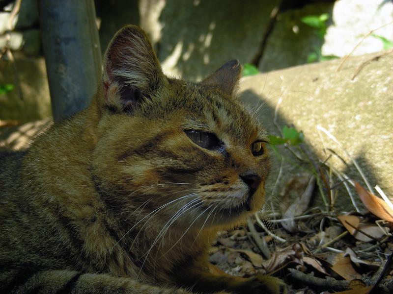 日陰でのキジトラ猫