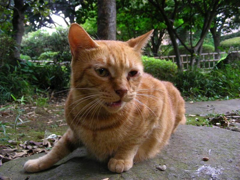 応援の茶トラ猫3