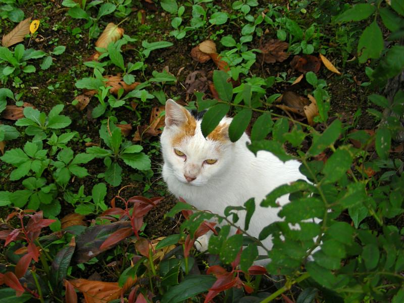 茂みと白三毛猫3