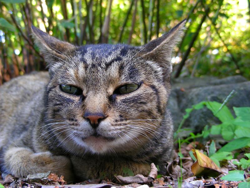 腹ばって見つめるキジトラ猫3