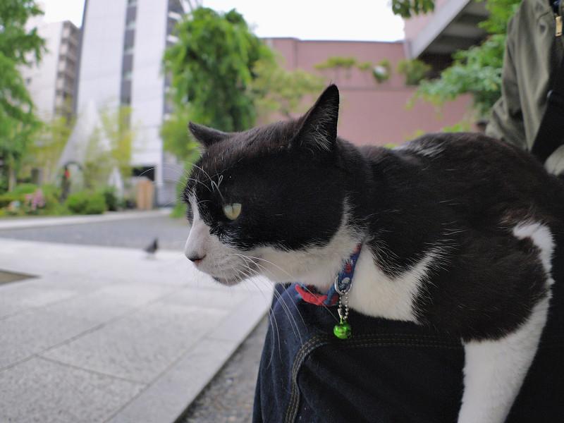 膝に乗って体が水平の黒白猫1