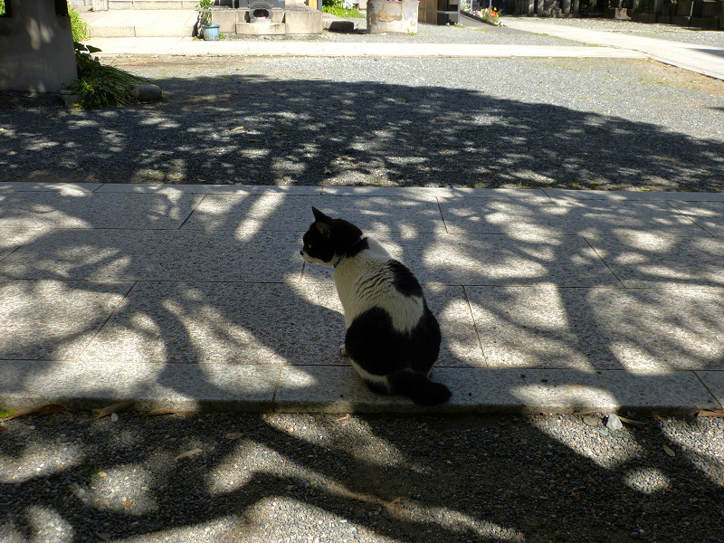 木漏れ日影と白黒猫2