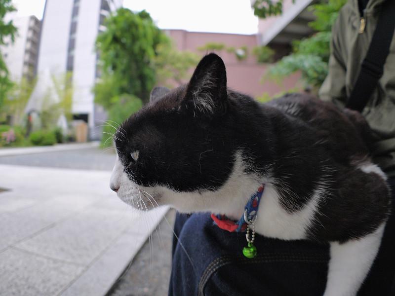 膝に乗って体が水平の黒白猫2