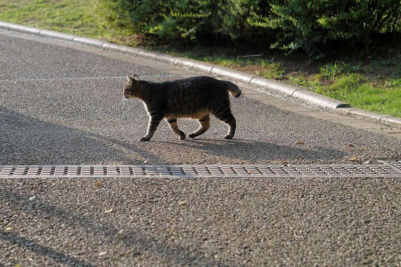 公園内を歩くキジトラ猫1
