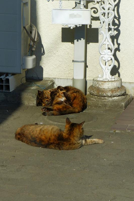 白壁前のサビ柄猫たち1