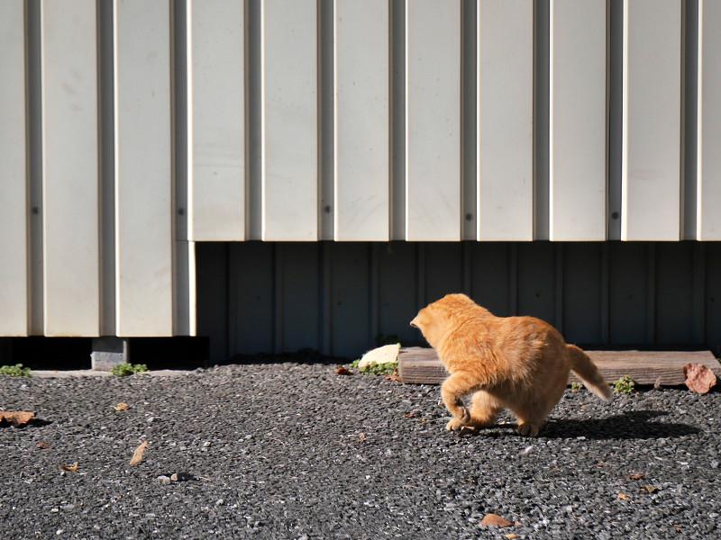 壁の前で枯れ葉が気になる茶トラ猫1