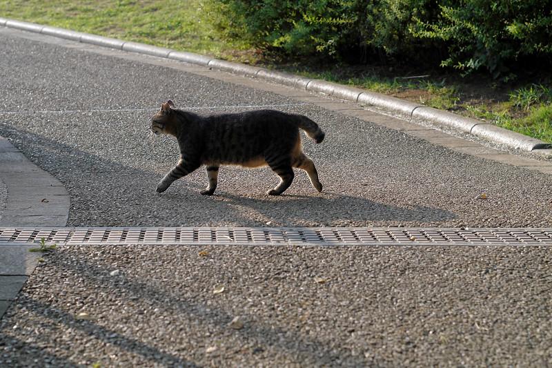 公園内を歩くキジトラ猫2