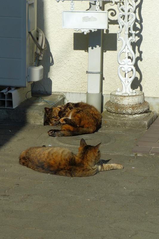 白壁前のサビ柄猫たち2