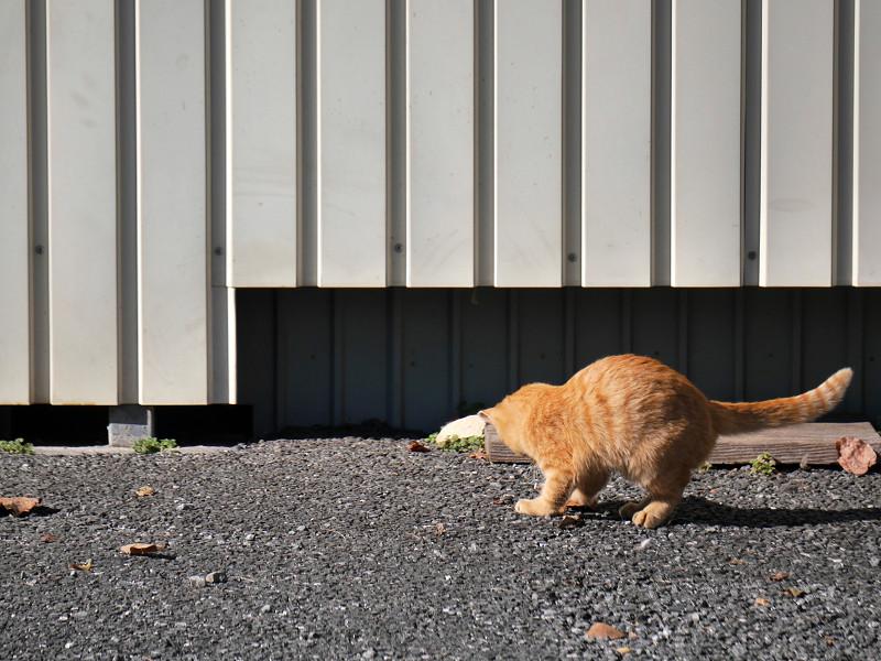 壁の前で枯れ葉が気になる茶トラ猫2