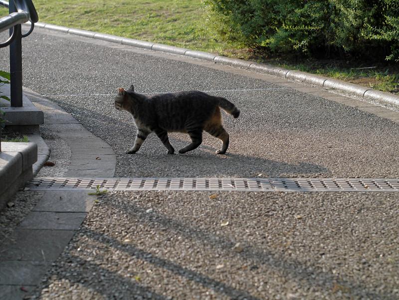 公園内を歩くキジトラ猫3