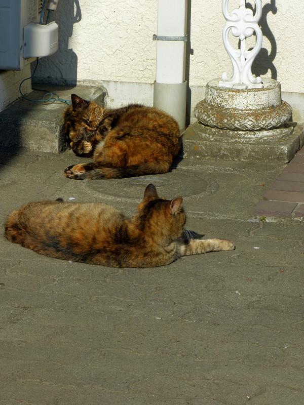 白壁前のサビ柄猫たち3