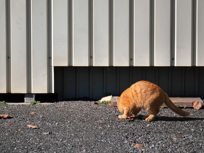 壁の前で枯れ葉が気になる茶トラ猫3