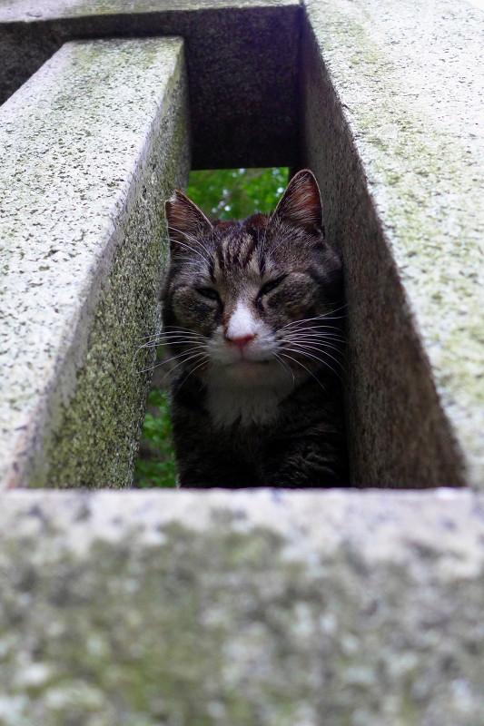 玉垣隙間とキジ白猫1