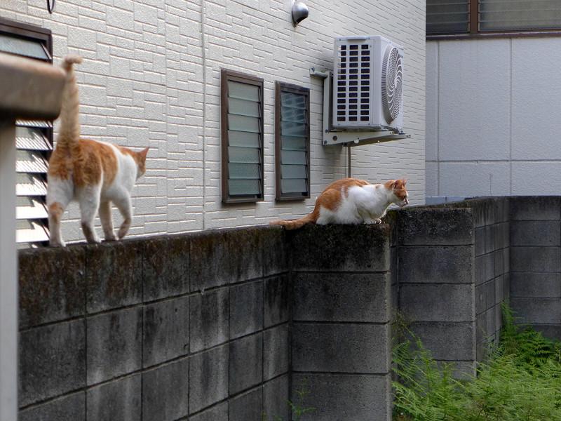 ブロック塀の茶白の猫たち1