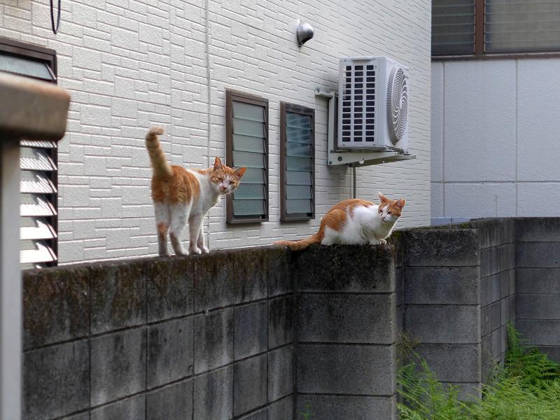 ブロック塀の茶白の猫たち3