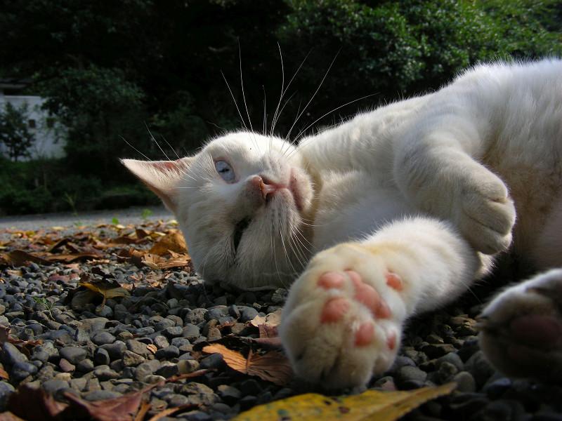 横たわる白猫1