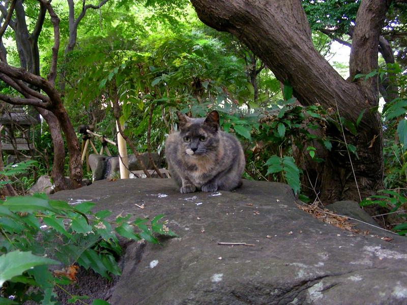公園の岩の上のサビ柄猫1