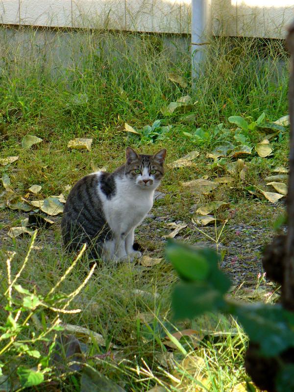 草むら空き地のキジ白猫1