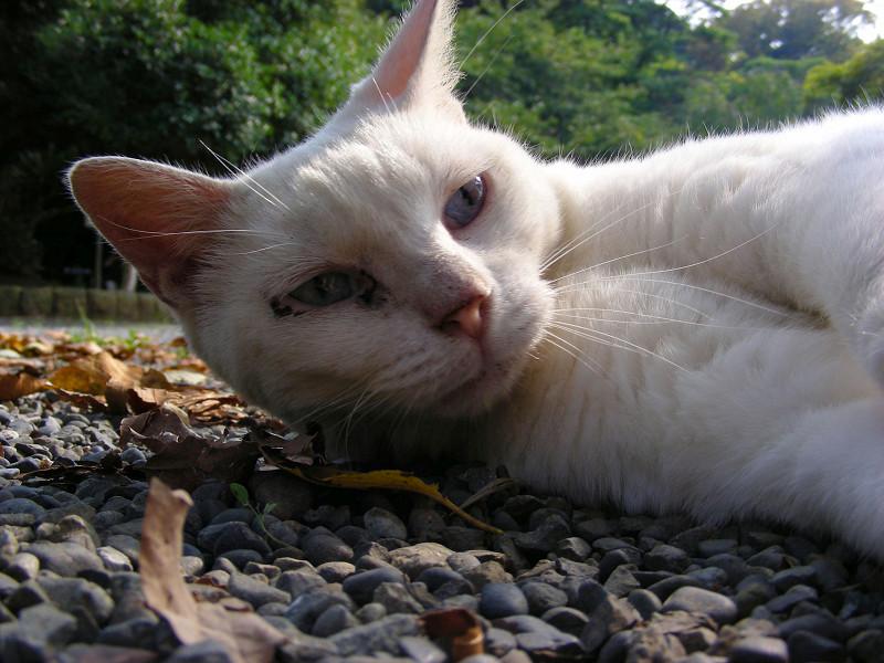 横たわる白猫2
