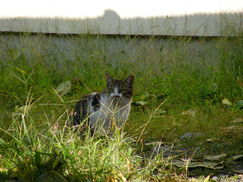 草むら空き地のキジ白猫2