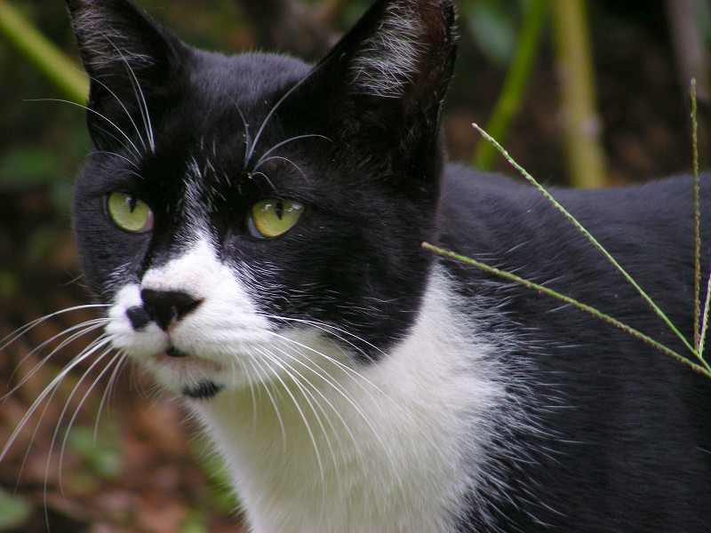 草むらの黒白猫3