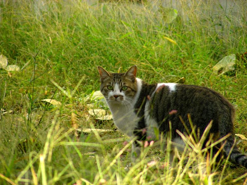 草むら空き地のキジ白猫3