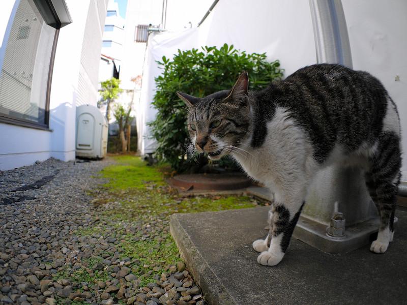 支柱とキジ白猫1