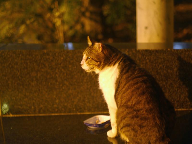 夕暮れのキジ白猫の背中2