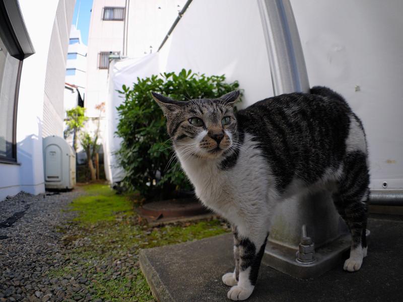 支柱とキジ白猫3