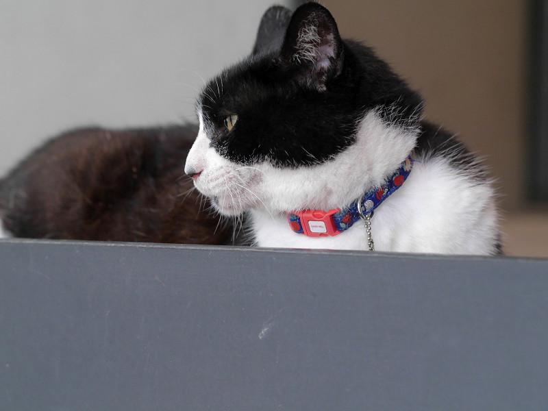耳が水平の黒白猫1