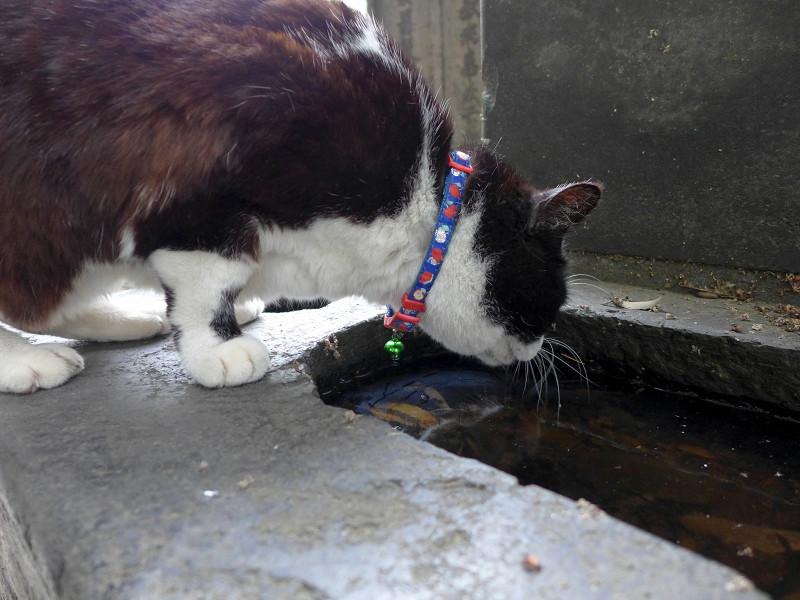 溜り水を飲む黒白猫1