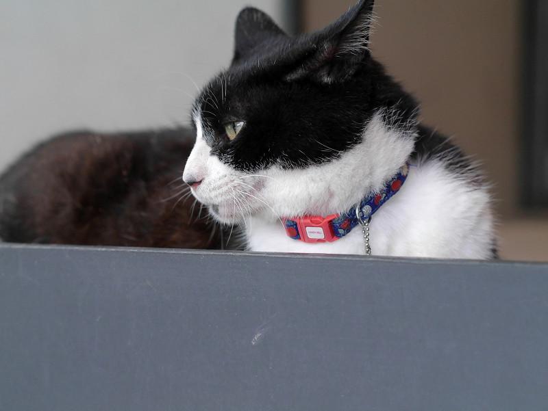 耳が水平の黒白猫2