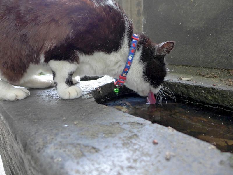 溜り水を飲む黒白猫2